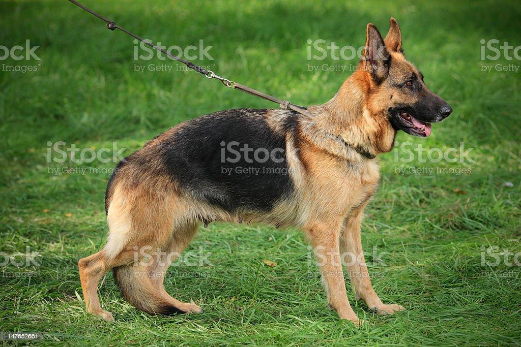 German shepherd royalty-free stock photo