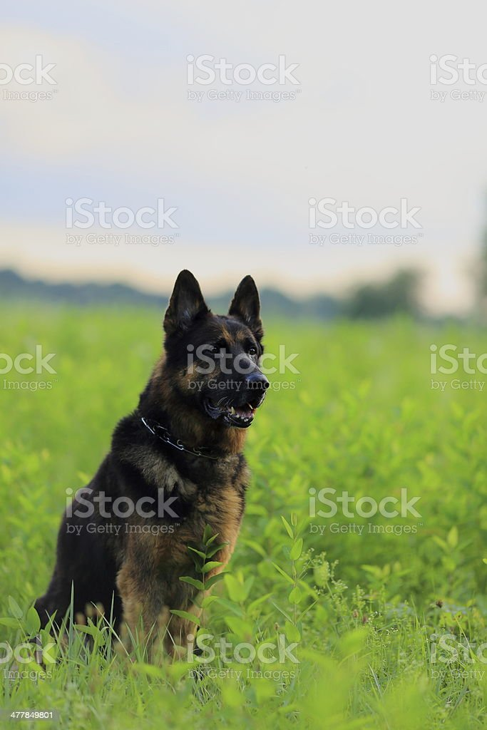 German Shepherd royalty-free stock photo