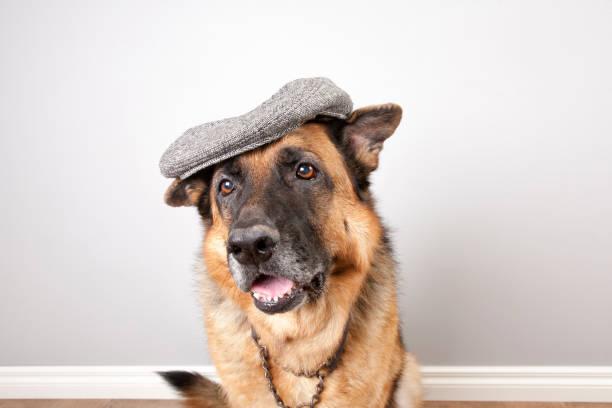 german schäferhund  - schiebermütze stock-fotos und bilder