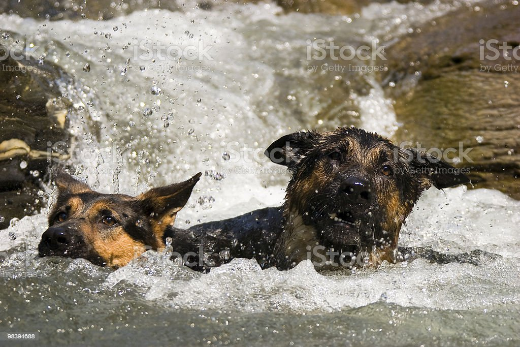 German Shepherd Playing In Water royalty-free stock photo