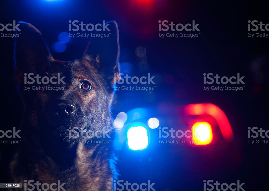 A German shepherd police dog with police car lights behind stock photo