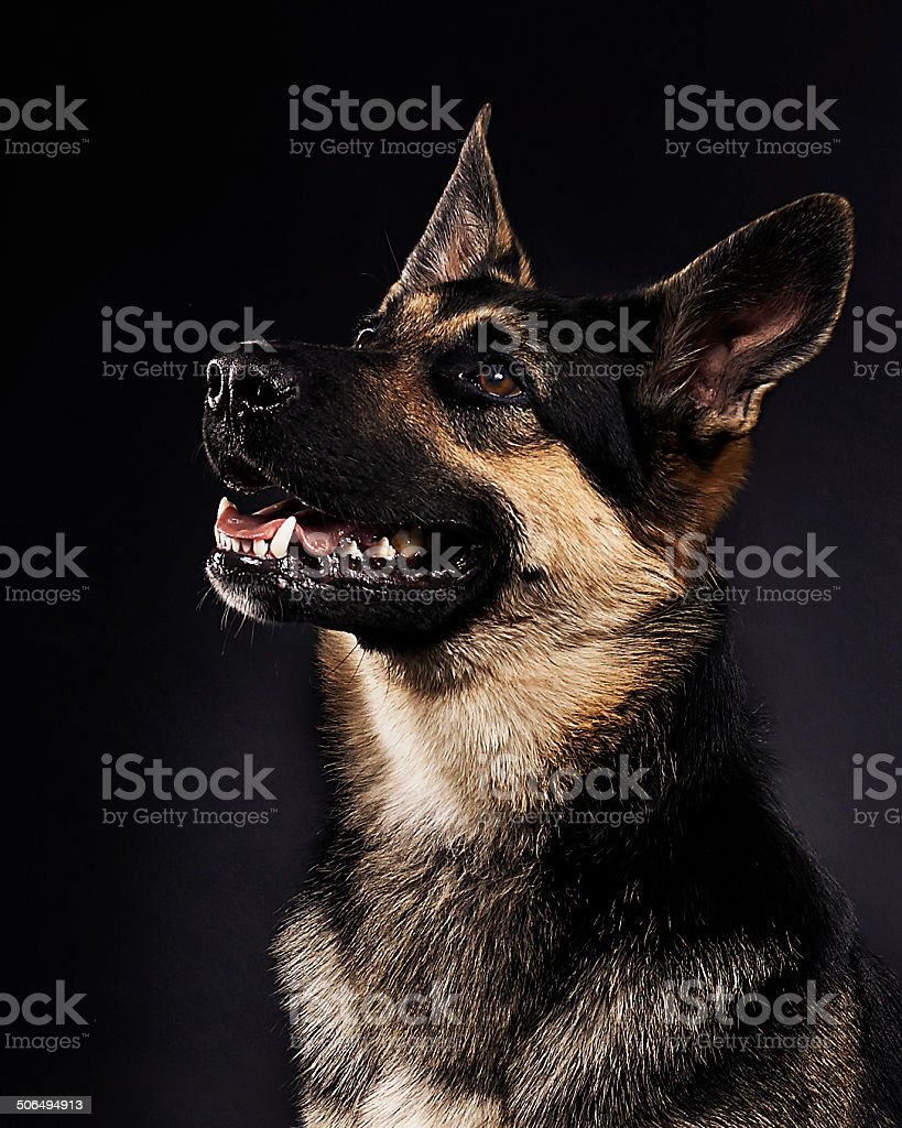 German shepherd portrait. Dog looking up.