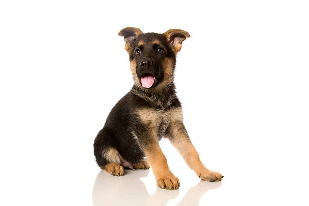 German shepherd pup picture id183368945?b=1&k=6&m=183368945&s=612x612&w=0&h=zbd7 tko7mdheehsfuytczdgrbzdw7 tszt1twttigu=