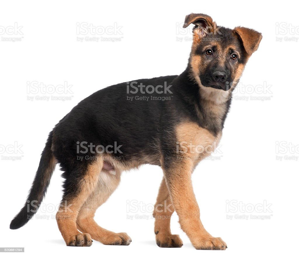 German Shepherd puppy, 3 months old, standing stock photo