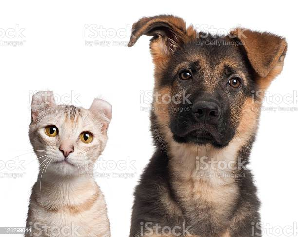 German shepherd puppy and a american curl kitten white background picture id121299044?b=1&k=6&m=121299044&s=612x612&h=hfxmdso5gvs3i7pfvunwlwbl80oj1ywkbf odxkz fs=