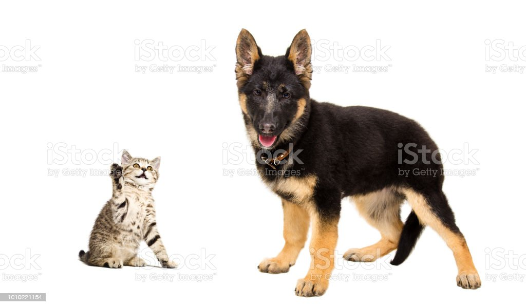 German Shepherd Puppy And A Funny Kitten Stock Photo Download
