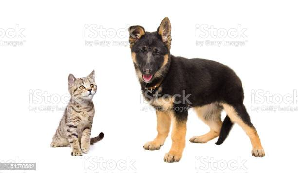 German shepherd puppy and a kitten scottish straight picture id1154370582?b=1&k=6&m=1154370582&s=612x612&h=9hj1m9mdqdk6erjtoedovfbvp63zwd0rtsfjpflvdks=