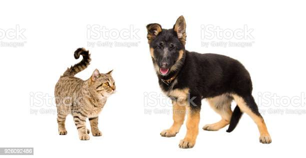 German shepherd puppy and cat scottish straight standing together picture id926092486?b=1&k=6&m=926092486&s=612x612&h=nwyahcf 0wzxuvecfyvhlzskaaahkkxj6681eszo9rg=