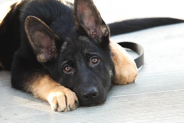 Berger allemand chiot chien être étendu regardant triste - Photo