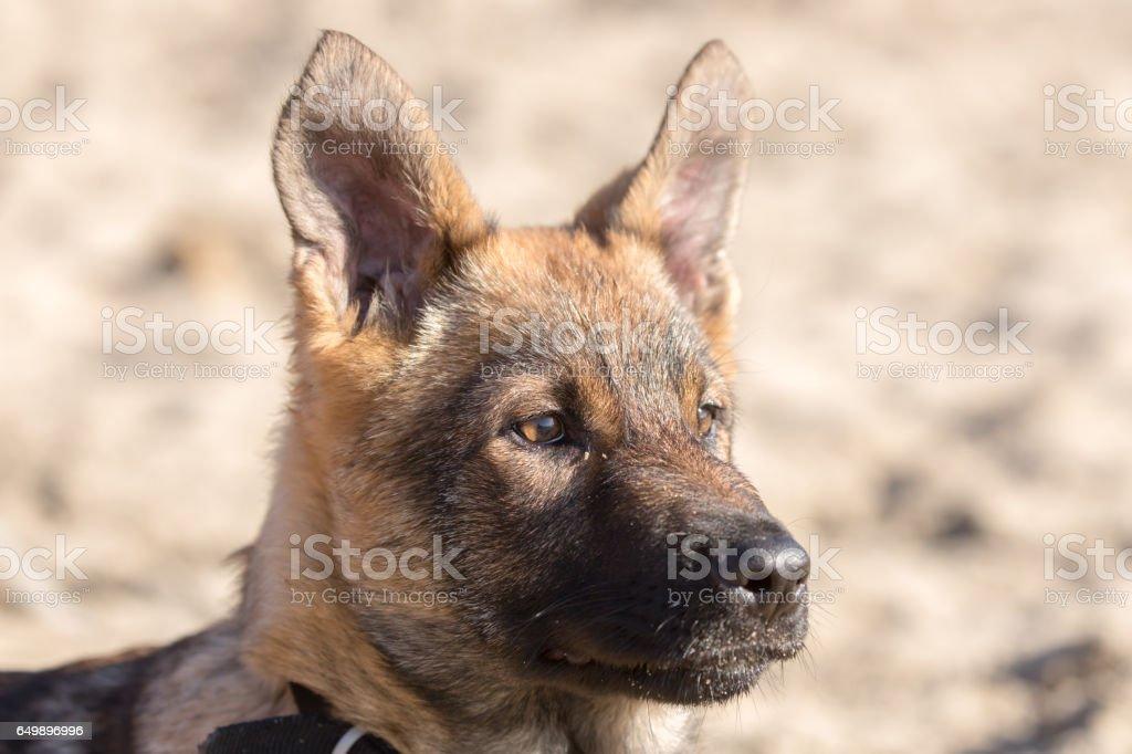 German Shepherd Puppy Head stock photo