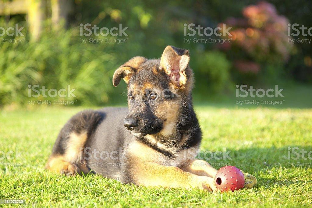 german shepherd puppy royalty-free stock photo
