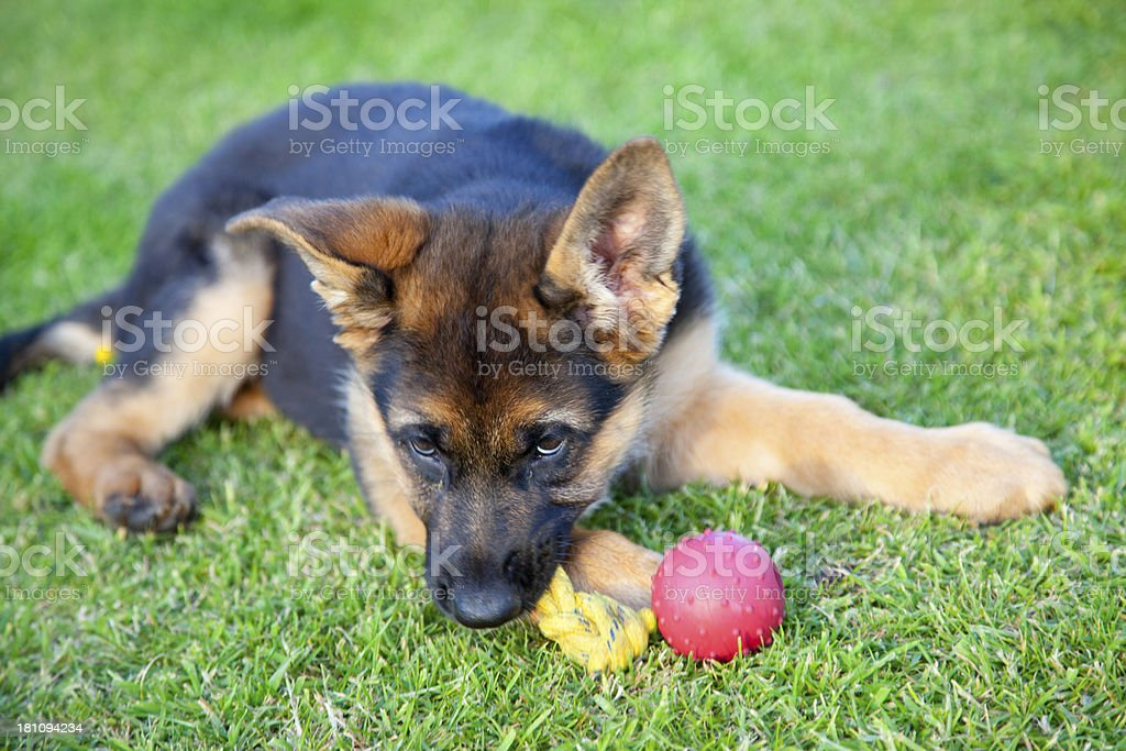 german shepherd puppy royalty-free stock photo