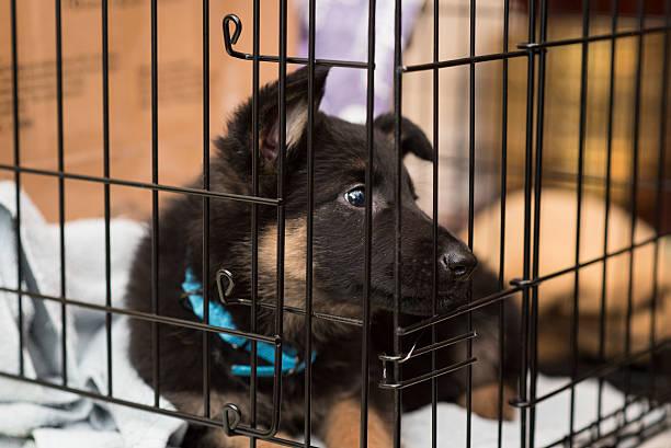 deutscher schäferhund welpe - holzkiste stock-fotos und bilder