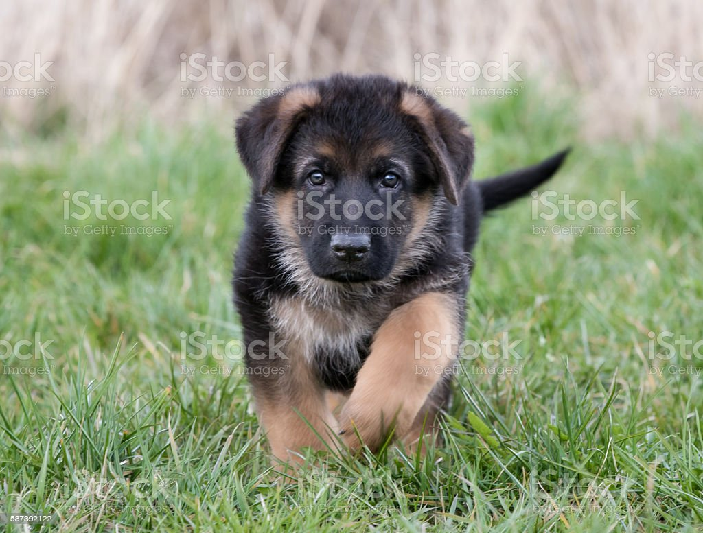 German Shepherd Puppy Stock Photo Download Image Now Istock