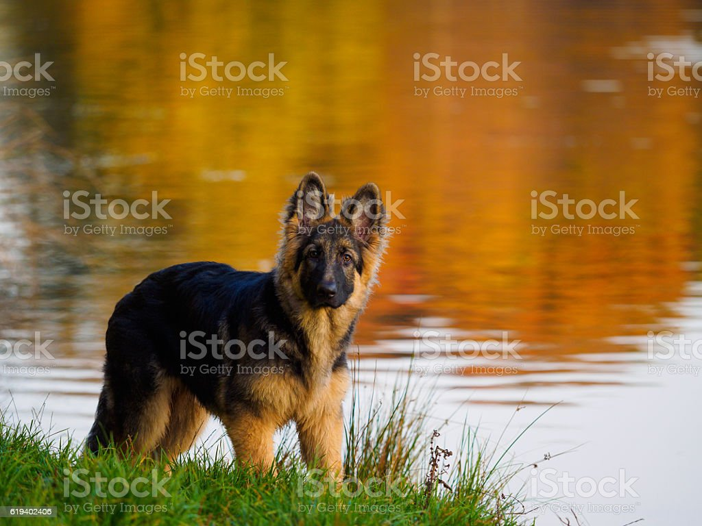 A 9 month old german shepherd puppy looking directly at the camera.