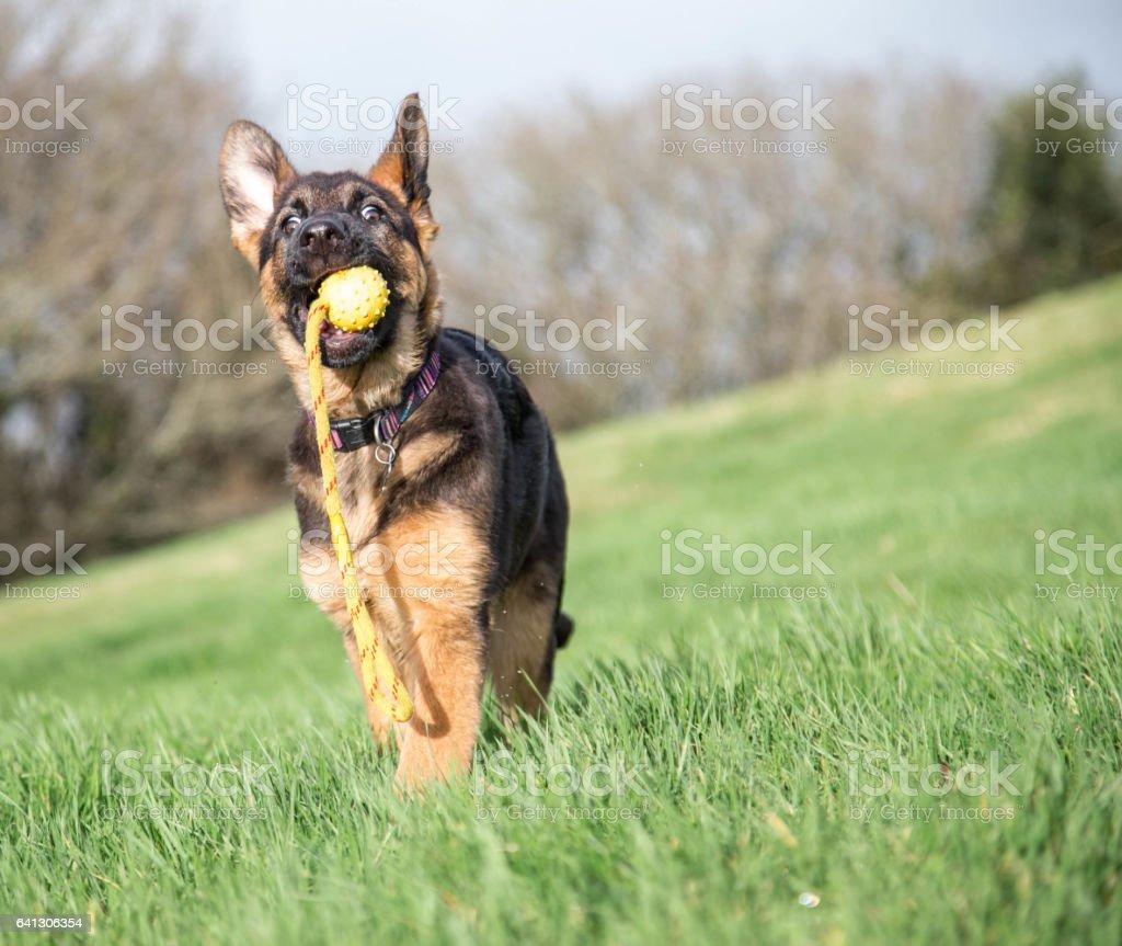 German SHepherd pup in action!