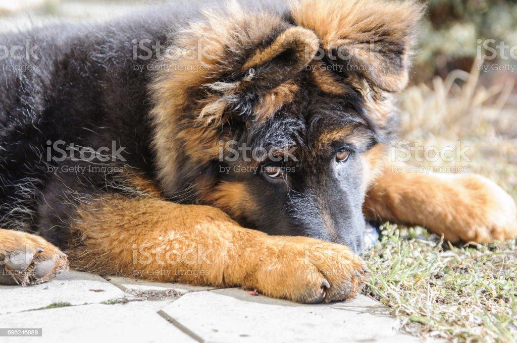 Cute and sad puppy of german shepherd