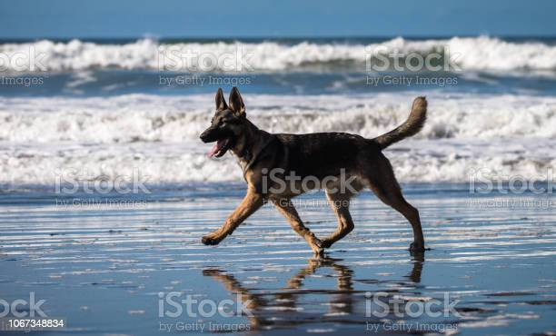 German shepherd puppy playing on beach picture id1067348834?b=1&k=6&m=1067348834&s=612x612&h=y74xm7doan5myfh6idpcspkkkc9gpsmleygxbgpysn0=