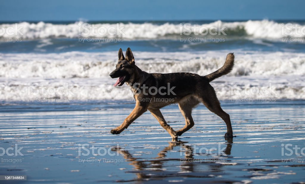 German shepherd puppy playing on beach stock photo