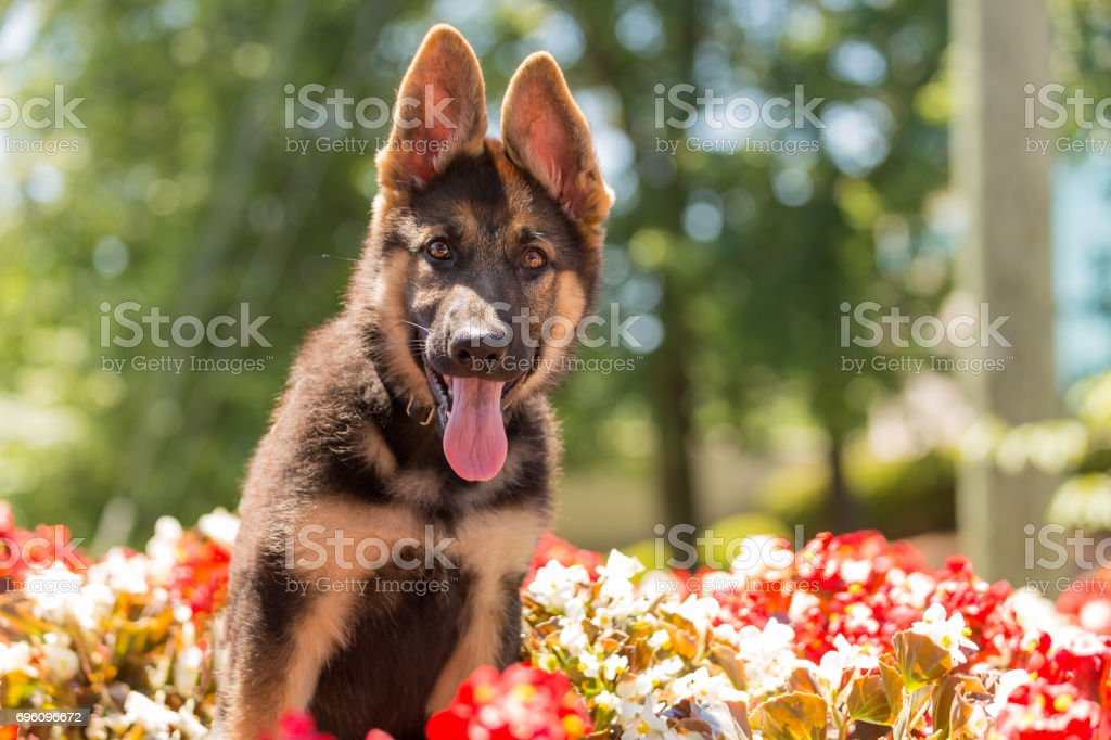 German shepherd puppy sitting among a bed of flowers stock photo