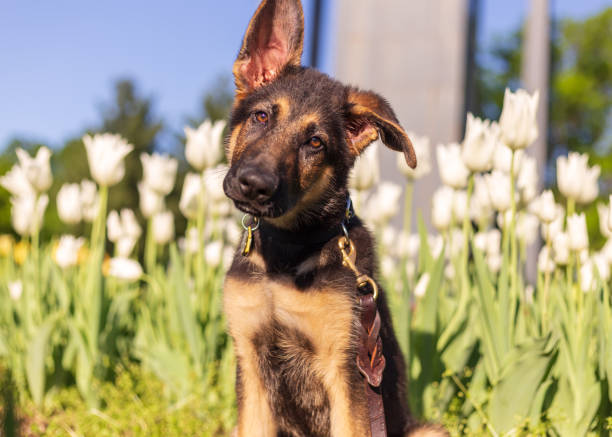 German shepherd puppy with a perplexed look on their face stock photo