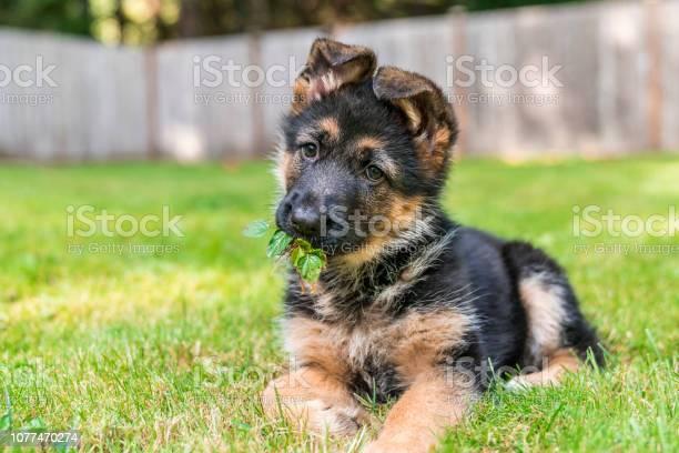 German shepherd puppy with leaves in her mouth enjoying sitting in picture id1077470274?b=1&k=6&m=1077470274&s=612x612&h=i0vieolj 8opqdjn081rhd4rz1osctgbq6161s71qgs=