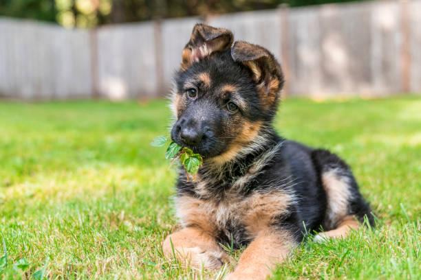 tysk herdepuppy med bladen i hennes mun, njuter sitter i gräset på en solig dag. - puppies bildbanksfoton och bilder