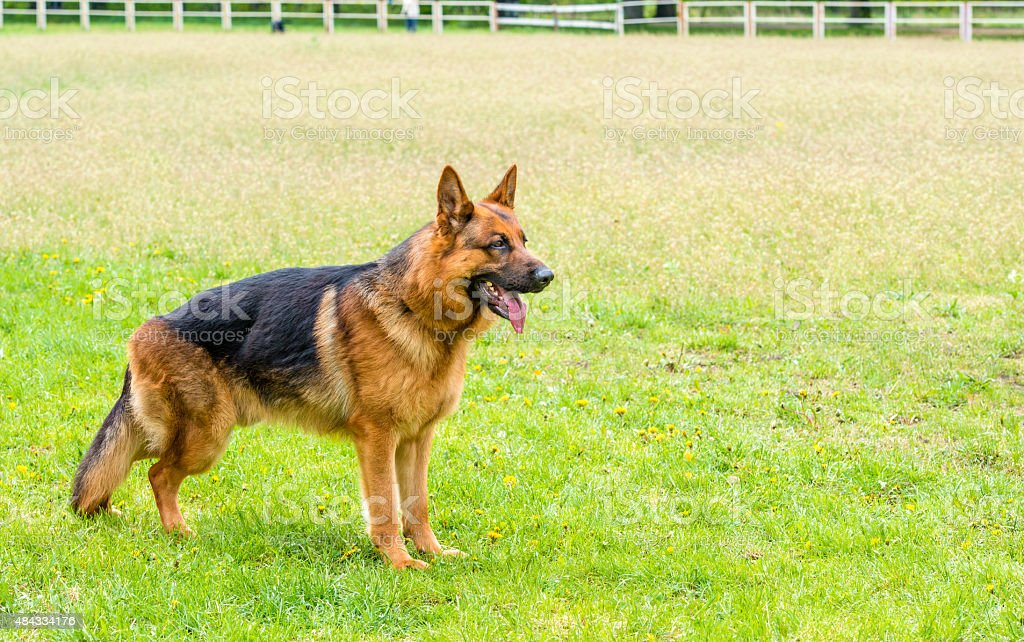 German shepherd  ready. stock photo