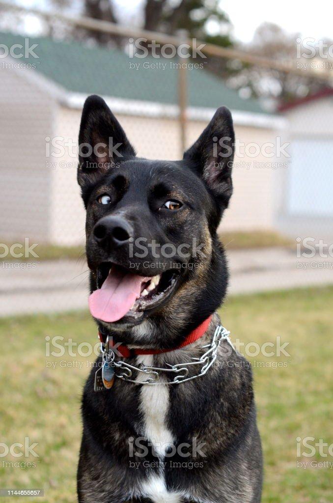 sibirischer schäferhund