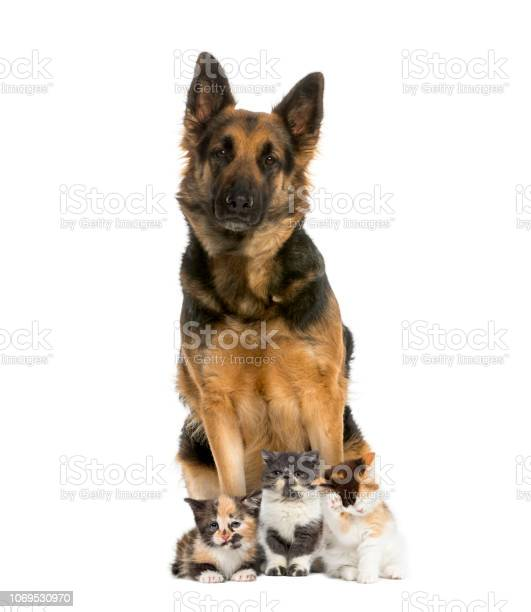 German shepherd sitting with exotic shorthair kitten european kitten picture id1069530970?b=1&k=6&m=1069530970&s=612x612&h=ibqu3qpurpdmra0z8ncf9aczncz9gvxgeo xvkmvtcc=