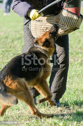 German shepherd training competition. Checking the dog for humans detention by biting into training sleeve.