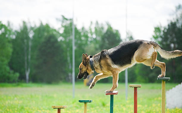 German Shepherd training stock photo