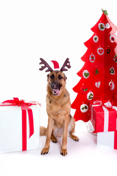 german shepherd with christmas hat and tree stock photo