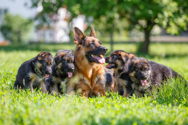 German shepherd with its puppies resting on grass German shepherd with its puppies resting on green lawn sergionicr stock pictures, royalty-free photos & images