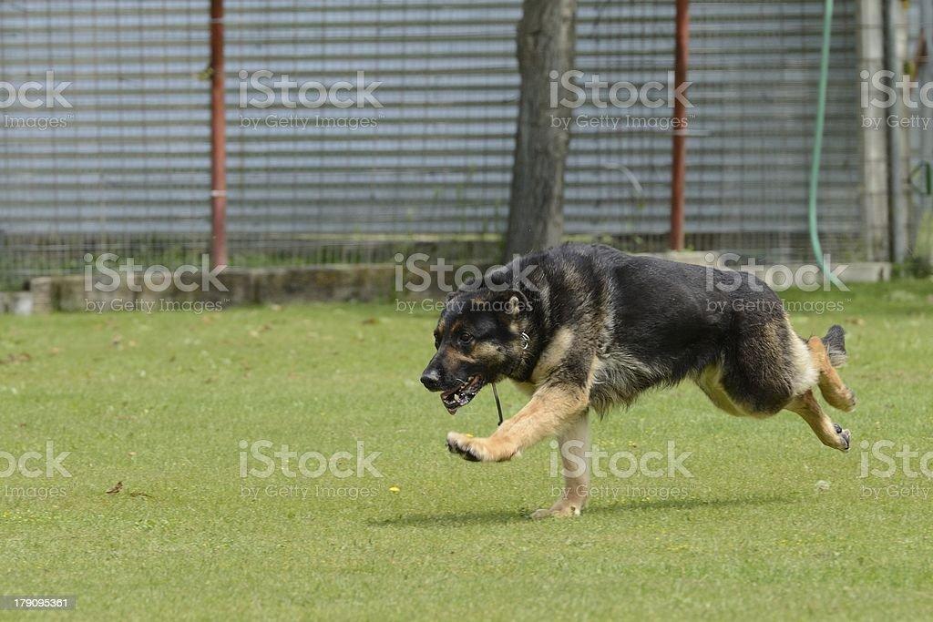 German Shepherd, working test royalty-free stock photo