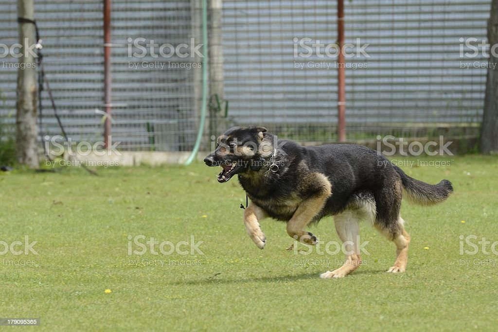 German Shepherd, working test royalty-free stock photo