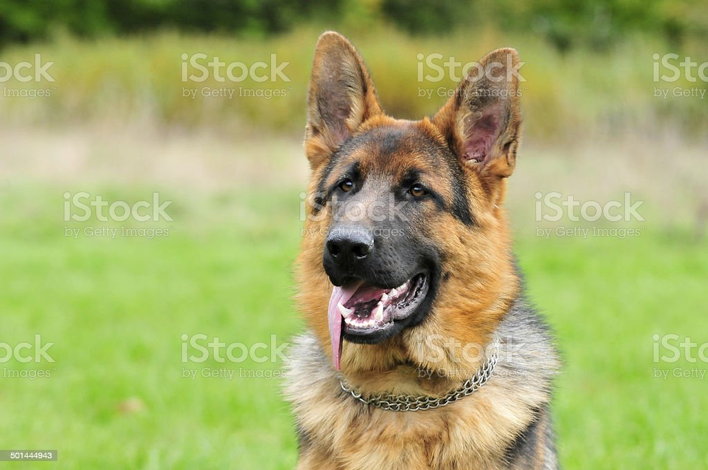 German Shepherd,male. royalty-free stock photo