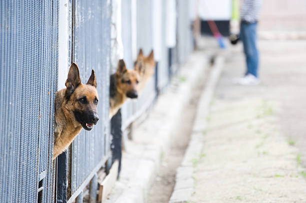 German Shepherds in kennel stock photo