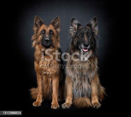 german shepherds in front of black  background