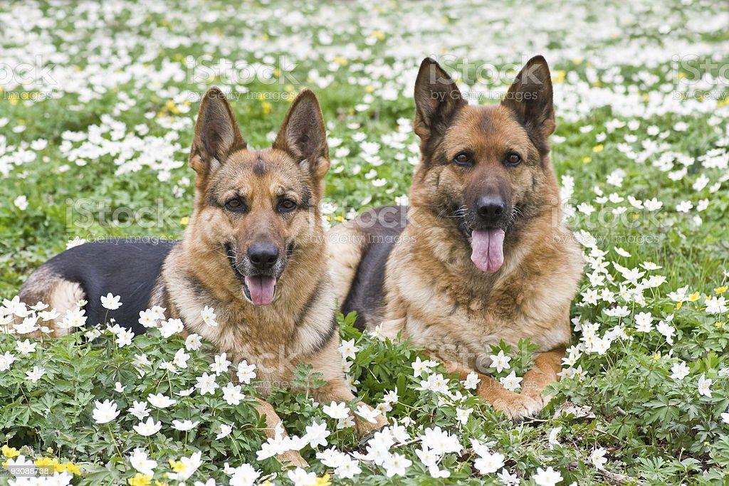 German shepherds royalty-free stock photo