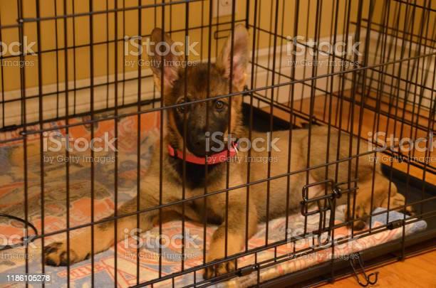German sheppard puppy picture id1186105278?b=1&k=6&m=1186105278&s=612x612&h=dkq6iejq bmqmnlrhzc8u22e oj 1ay19aj 2kfewlk=