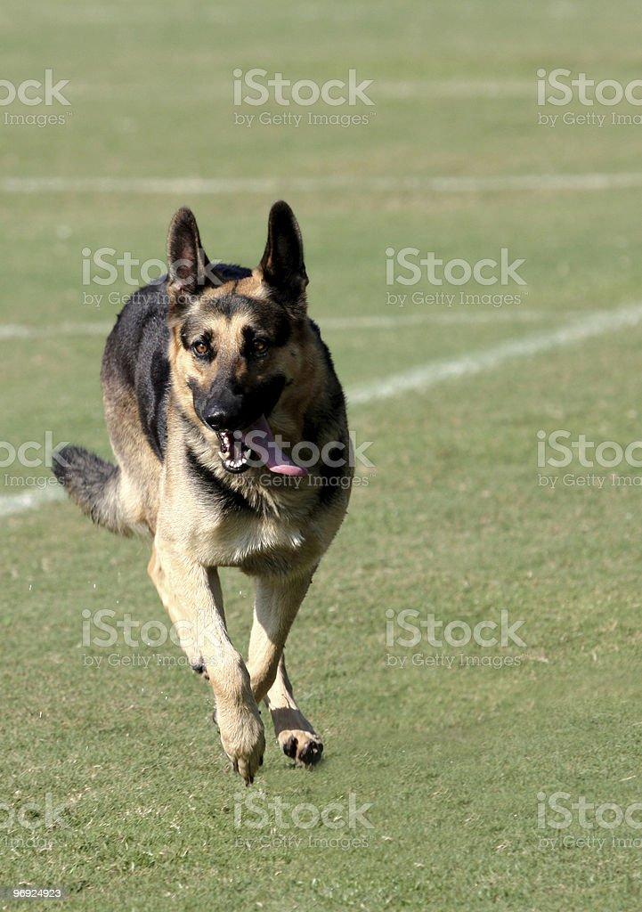 German Sheppard Running On Football Field royalty-free stock photo
