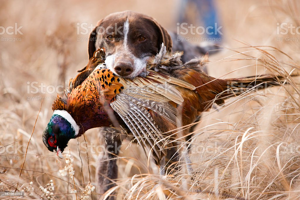 German short hair bird dog with pheasant. stock photo
