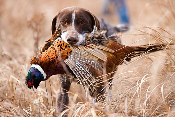 German short hair bird dog with pheasant. stock photo
