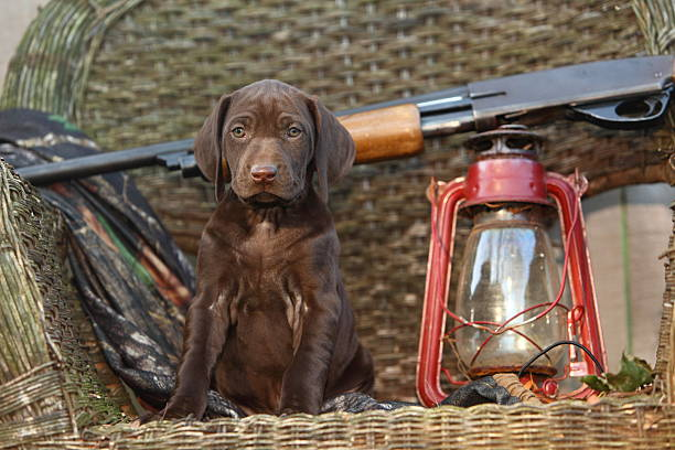 German Short Haired Pointer Puppy with Shotgun An alert German Short Haired Pointer puppy sits beside his masters gun, ready and waiting for his first big bird hunting adventure! hunting dog stock pictures, royalty-free photos & images