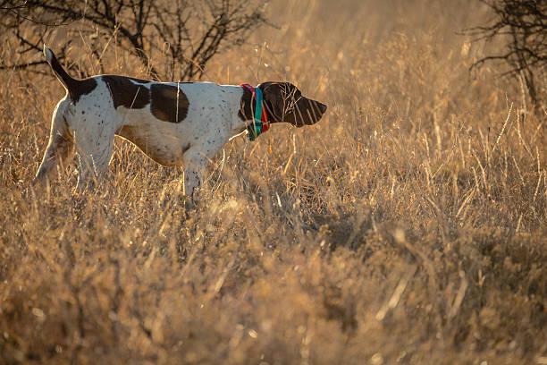 German Shorthair Birddog - foto de stock