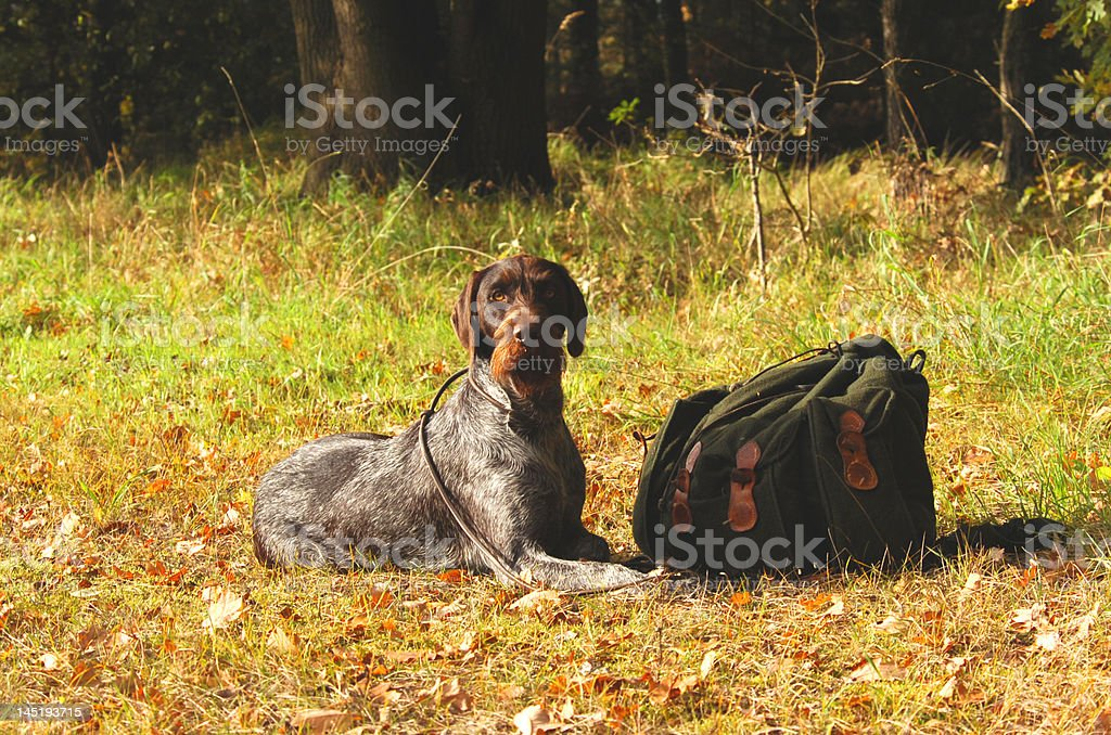german shorthair hunting dog royalty-free stock photo