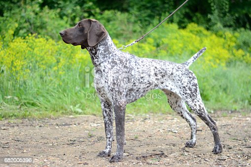 German Shorthair Birddog Pointer breeds in nature.