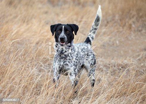 German Shorthair Pointer hunting dog outdoors in field looking away.