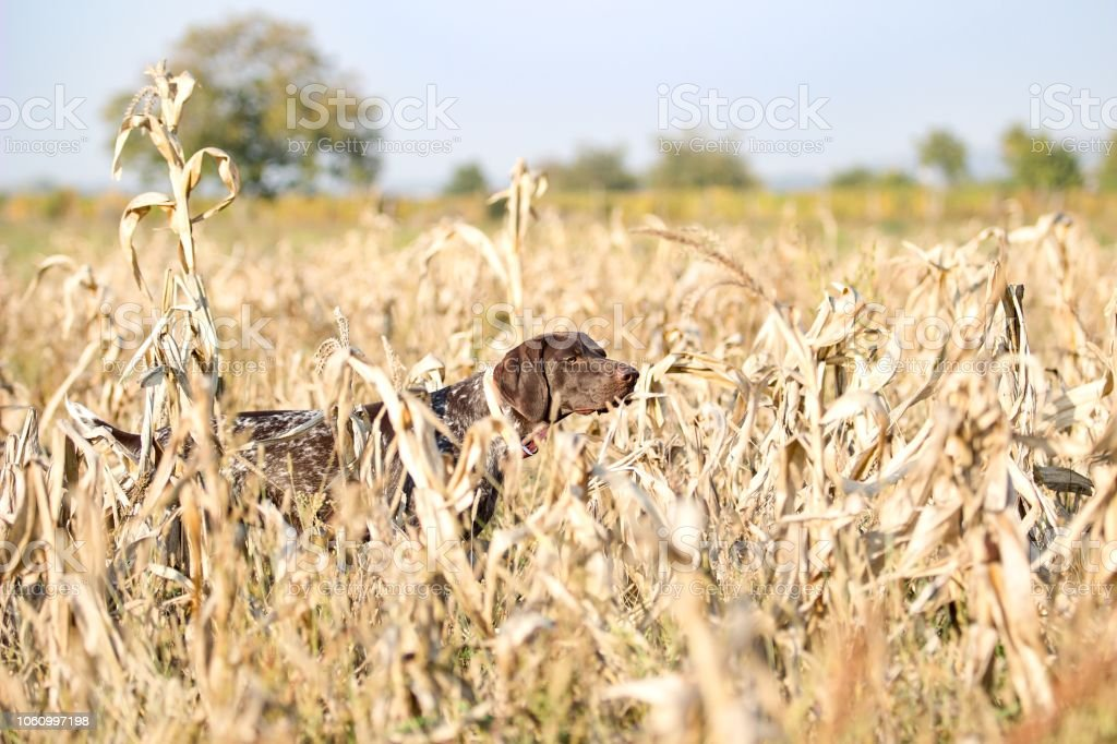 German shorthair pointer in the corn field stock photo